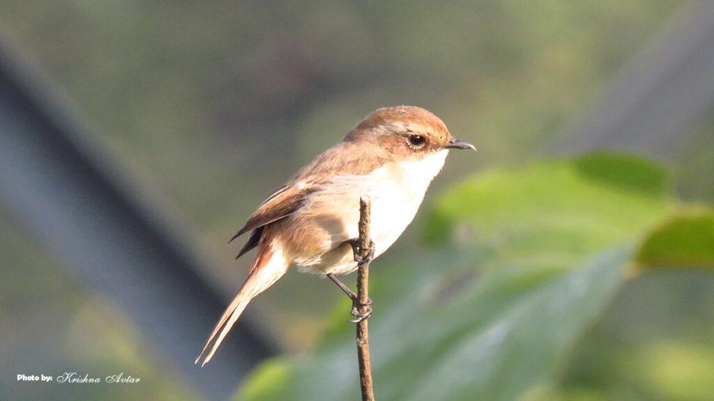 Lachhiwala-bird-1