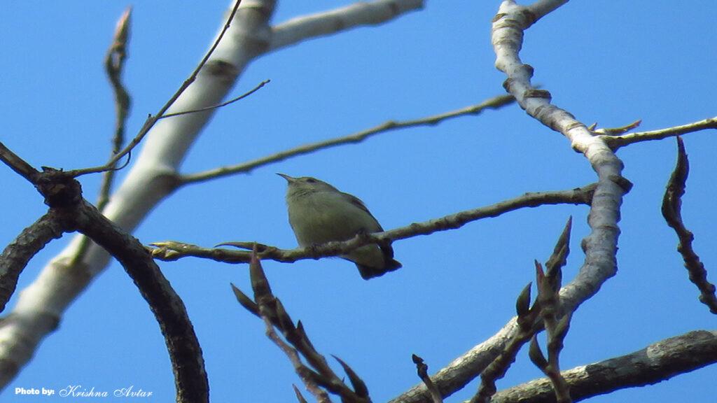 Lachhiwala-bird-8