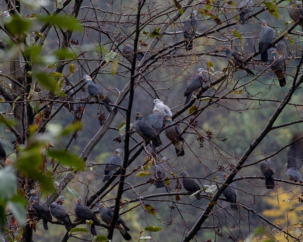 ashy-wood-pigeon