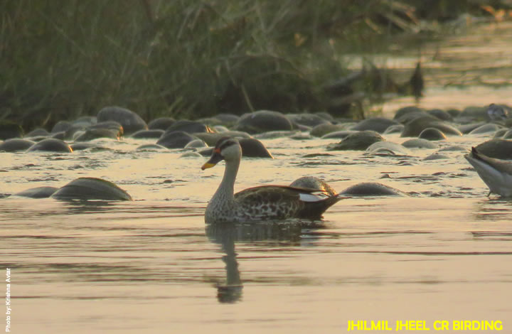 Jhilmil Jheel Bird Watching
