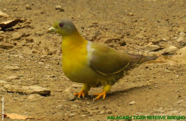 Kalagarh Tiger Reserve Birding