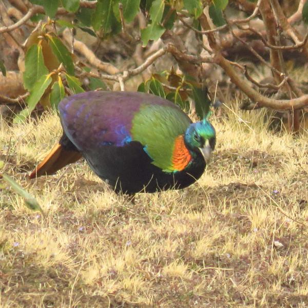 Monal Himalaya Birding Tour