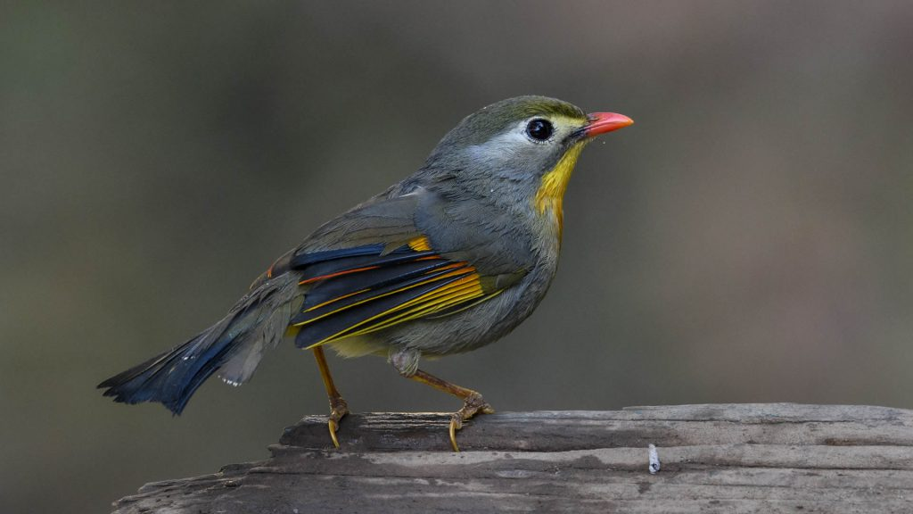 Red-billed Leothrix