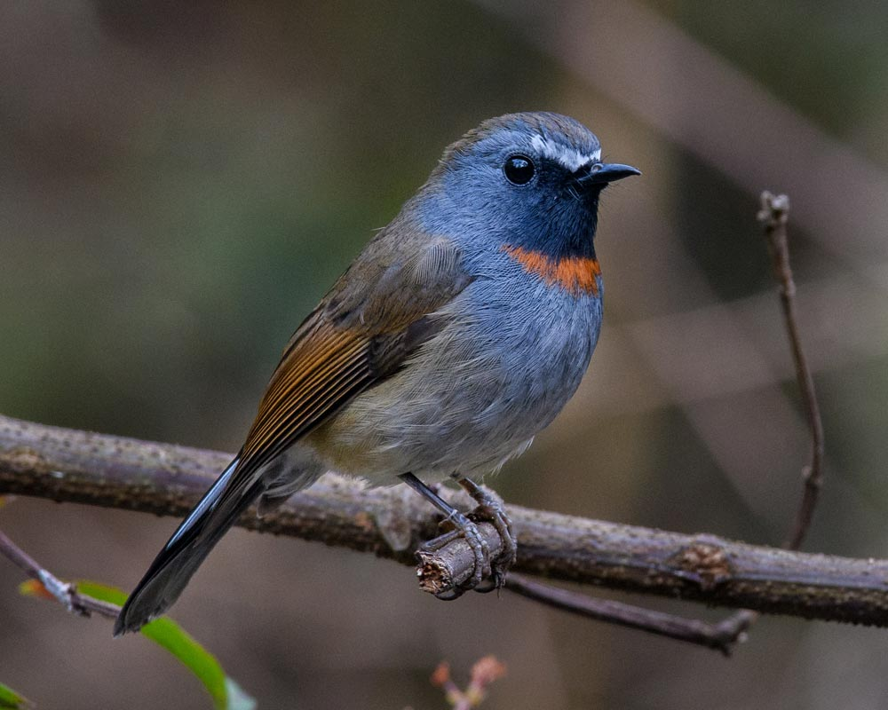 rufous-gorgetted-flycatcher