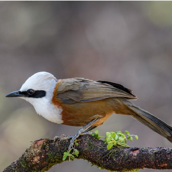 Sattal Birding Tour