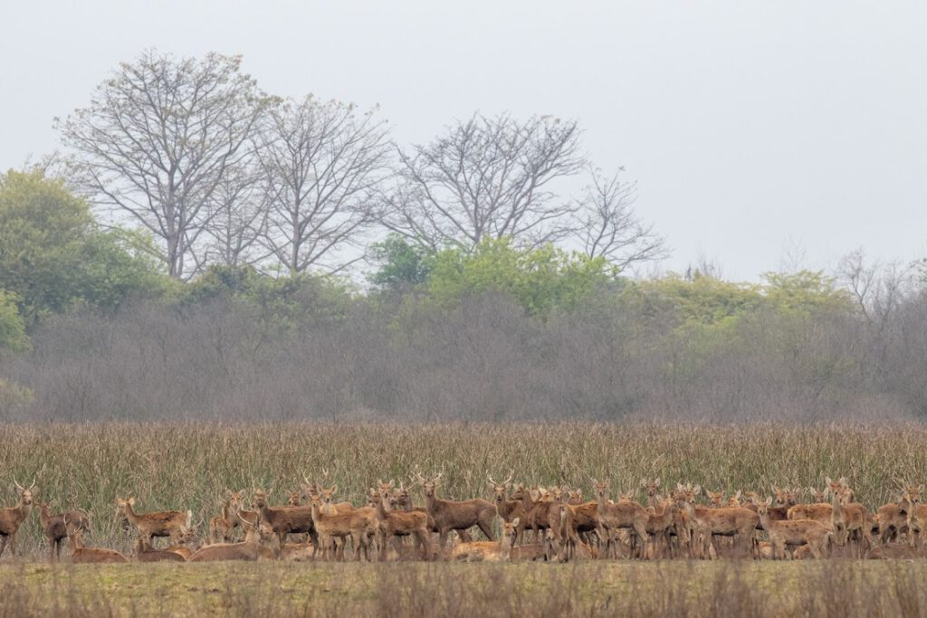 Swamp Deers at Jhilmil Jheel