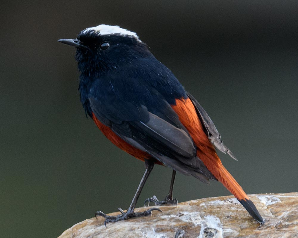 white-capped-red-start